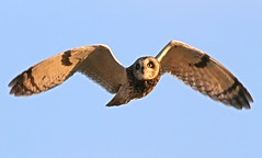 Short Owled Ear (Dan Belton ( No Badger Cull )) Tags: short eared owl asioflammeus bird birds animal nature uk wildlife leicestershire flight flying january winter 2012