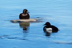 Vigg (evisdotter) Tags: light nature water reflections aythyafuligula tuftedduck fåglar vigg sooc