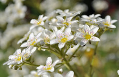 White flowers (littlestschnauzer) Tags: flowers white plant flower macro nature garden petals nikon bokeh gardening many small stems rockery numerous