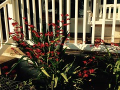 (Craig Williams1970) Tags: flower garden hummingbirdflowers crocosmialucifer