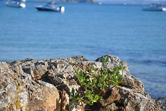 Ice plant - Tiri Tiri Matangi