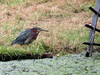 green heron on other side of Small Lake - Longwood Gardens, 9 Aug 2015 (mwms1916) Tags: lake bird heron longwoodgardens hunched greenheron