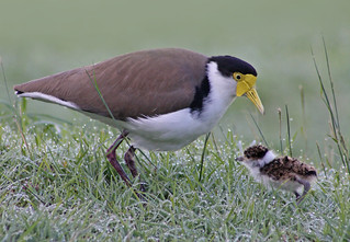 Masked Lapwing/Spur-winged Plover 020