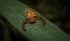 Arkys lancearius (dustaway) Tags: arthropoda arachnida araneae araneomorphae arkyidae arkyslancearius triangularspider ambushhunter australianspiders tuckeanswamp richmondvalley northernrivers nsw nature australia