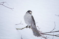 Grey Jay (namra38) Tags: greyjay annettelake armanwerthphotography snow