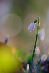 Premier de l'année (jpto_55) Tags: fleur perceneige proxi bokeh xe1 fuji fujifilm omlens om135mmf28 hautegaronne france