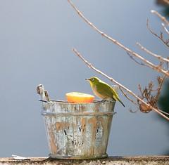 In my garden_ 7DWF Sunday Fauna (keiko*has) Tags: 7dwf sunday fauna mejiro whiteeye visitor