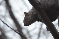 Eastern Grey Squirrel (Sciurus carolinensis) (marknenadov) Tags: squirrel sciurus sciuruscarolinensis easterngraysquirrel wildlife rodents rodentia animals nature