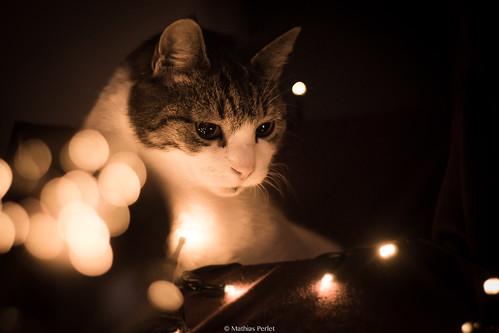 Lichterkatze