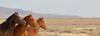 Ponder the Yonder (chad.hanson) Tags: wildlife wyoming mustangs wildhorses stewartcreekhma