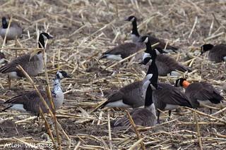 leucistic Canada Goose (on left)