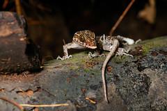 Gecko (Bryn Tassell) Tags: borneo jungle mala malaysia mulu tropical national park sarawak gecko