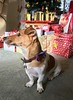 Waiting for Santa (KelJB) Tags: presents dressupdog festive bowtie jackrussell terrier pet dog festivedog animal cute xmas christmas
