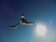 Wings to Fly (Robert S. Photography) Tags: birds wings gulls flight sky sun beach brooklyn brighton coney nyc nikon coolpix l340 iso80 december 2016