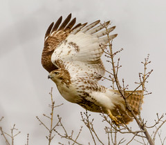 On Feeder Watch (tresed47) Tags: 2017 201701jan 20170128homebirds birds canon7d chestercounty content folder hawk home pennsylvania peterscamera petersphotos places redtailedhawk takenby us ngc