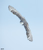 Snowy-Owl (Corey Hayes) Tags: snowy bird nature art wings baited