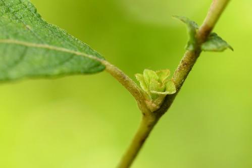 Rhabdophaga rosariella on Salix cfr aurita