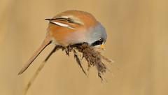 Bearded Tit  (Panurus biamicus). (Bob Eade) Tags: beardedtit beardedreedling birds male kent moustache reedbed babbler nature wildlife