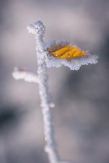 DSC_3772 (gabriella.hafner) Tags: januar macro cold hungary zúzmara tél winter hideg nature