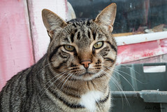 Cat portrait (JOAO DE BARROS) Tags: cat feline animal portrait joão barros