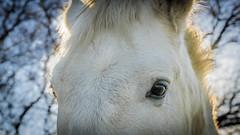 BALADE -_DSC3548-2 (dcmtp34) Tags: cheval blanc yeux portrait contrejour soleil camarguais