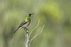 DSC_6720-Edit (mylesm00re) Tags: m africa cinnyrischalybeus kleinrooibandsuikerbekkie nectariniidae sanparks southafrica southerndoublecollaredsunbird sunbirds westcoastnationalpark westerncape bird birdwips