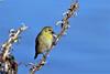 Winter Goldfinch (Jan Nagalski) Tags: bird wildlife nature goldfinch americangoldfinch winter blue bluesky seed wildflower yellow michigan jannagalski jannagal