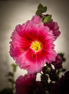 Vignetted Hollyhock