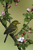 Prairie Warbler (www.studebakerstudio.com) Tags: shawnee prairiewarbler adamscounty ohio songbird apple blossoms bird