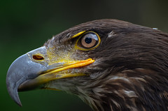Eagle eye (Roberto Braam) Tags: birdofprey predatorybird predator roofvogel bird wildlife animal dier nature natur natuur prey depthoffield outdoor eagle vogel portrait nikon d5100 robertobraam image photo seaeagle seeadler adler tier raptor zeearend europesearend europe thenetherlands whitetailedeagle whitetailed head detail haliaeetusalbicilla eagleoftherain erne ern ørn greyeagle sea grey gray rain white tail tailed arend eye kopf kop