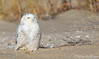 Snowy Owl (Mitch Vanbeekum Photography) Tags: snowy owl snow sandyhook newjersey nj perched sand beach mitchvanbeekum mitchvanbeekumcom canon5dmkiii canonef500mmf4is canon14teleconvertermkiii snowyowl wildlife wild pellet