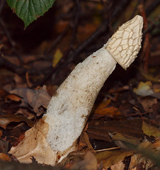 2016_11_0351 (petermit2) Tags: stinkhornmushroom stinkhorn mushroom fungus fungi toadstool pottericcarr potteric doncaster southyorkshire yorkshirewildlifetrust wildlifetrust ywt autumn