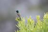 DSC_7420 (mylesm00re) Tags: m africa anthobaphesviolacea gantouwpass hottentotshollandnaturereserve nectariniidae orangebreastedsunbird oranjeborssuikerbekkie southafrica westerncape za bird