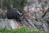 Russian bluish Morningside Park cat (@harryshuldman) Tags: morningside park canon eos t3i dslr rebel 100mm macro nyc new york city manhattan neko cat kat bokeh