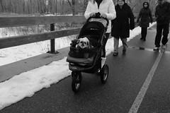 (Colby Stopa) Tags: x100s dog dogs streetphotography stroller monochrome winter outdoor people pets calgary fuji fujifilm fujifilmx100s street colbystopa