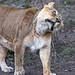 Shaking lioness!