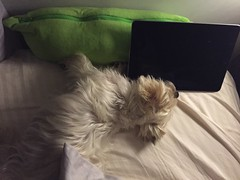siu b why do u sleep like this? (ceci cheung) Tags: yorkie yorkshireterrier tanji