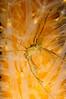 Spider crab on sea carrot (Patxikun) Tags: spidercrab seacarrot arousaestuary galicia d300 hidronauta