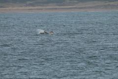 IMG_5939 (monika.carrie) Tags: monikacarrie wildlife scotland aberdeen dolphins dolphin cetacean mammal