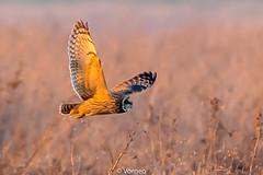 ShortEaredOwl-0020.jpg (vorneo) Tags: shortearedowl bird wild birdofprey seo classaves orderstrigiformes familystrigidae genusasio phylumchordata speciesaflammeus wildbird kingdomanimalia binomialnameasioflammeus