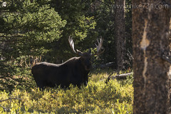"Bull Moose • <a style=""font-size:0.8em;"" href=""http://www.flickr.com/photos/63501323@N07/32445908595/"" target=""_blank"">View on Flickr</a>"