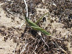 Sisakos sáska (ossian71) Tags: magyarország hungary fülöpháza kiskunság alföld természet nature rovar insect