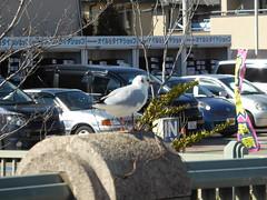 カモメ (patrusche9672) Tags: カモメ かもめ 鴎 gull