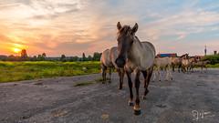 Nieuwsgierig paard (Arjan Almekinders) Tags: horses horse sun arnhem zon paard paarden meinerswijk konik konikpaarden