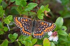 Euphydryas maturna (talaakso) Tags: butterfly lepidoptera schmetterlinge perhonen fjäril scarcefritillary euphydryasmaturna terolaakso maivogel kirjoverkkoperhonen talaakso boknätfjäril