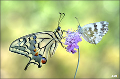 Charlas ininterrumpidas (- JAM -) Tags: naturaleza flower macro nature insect nikon flor explore jam mariposas d800 insecto macrofotografia explored lepidopteros juanadradas