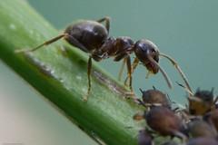 fourmi_.jpg (Sylvain Bédard) Tags: nature ant insects aphid fourmi puceron commensalism commensalisme