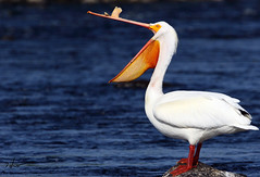 American white pelican _H039743ad (Peacefulbirder) Tags: wild white bird nature outdoor pelican rapids american richland bird wild dam horn