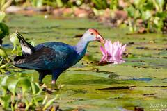 Purple Swamphen | දම් මැදි-කිතලා (Buddhika R) Tags: bird srilanka purpleswamphen muthurajawela srilankanbirdwing