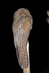 Northern Potoo, San Blas, Nayarit, Mexico (Terathopius) Tags: mexico nayarit sanblas northernpotoo nyctibiusjamaicensis nyctibiusjamaicensislambi